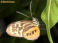 0101-0904  Isabella Heliconian Butterfly (Isabella Tiger), Eueides isabella, Central America © David Kuhn/Dwight Kuhn Photography