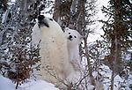 Polar bear and cub, Churchill, Manitoba, Canada
