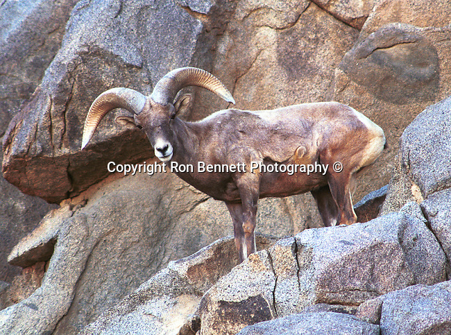 Bighorn sheep, ovis canadensis, sheep, Bering land bridge, Native Americans, Dall Sheep, Animal, Sierra Nevada Bighorn sheep, Peninsular Bighorn Sheep, wild animals, domestic animals,  Fine Art Photography, Ronald T. Bennett (c), Bighorn Sheep, Dall Sheep Fine Art Photography by Ron Bennett, Fine Art, Fine Art photography, Art Photography, Copyright RonBennettPhotography.com ©