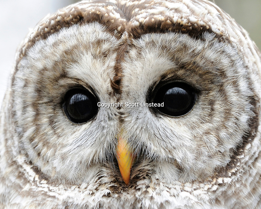 a barred owl close up
