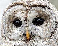 a barred owl close up