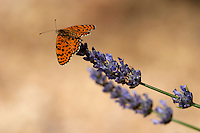Butterfly in the vineyard on lavender flower. Mount Athos. Tsantali Vineyards & Winery, Halkidiki, Macedonia, Greece. Metoxi Chromitsa of St Panteleimon monastery.