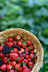 Home grown freshly picked strawberries, blackberries and raspberries in a straw basket with green garden background