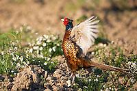 Fasan, Männchen, Phasianus colchicus, Ost Slowakei, Europa / Pheasant male, Phasianus colchicus, East Slovakia, Europe