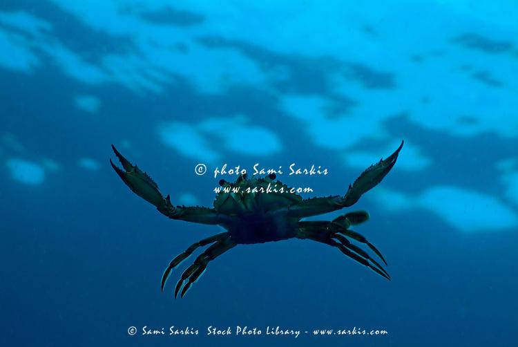 Crab swimming in the blue water near Faadhippolhu Atoll in the Maldive Islands.