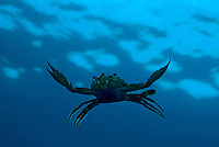 Crab swimming in the blue water near Faadhippolhu Atoll in the Maldive Islands.