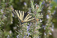 Segelfalter, Segel-Falter, Iphiclides podalirius, Scarce Swallowtail, Sail Swallowtail, Pear-tree Swallowtail