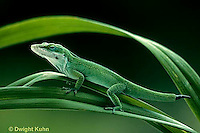 1R06-110z  Green Anole - camouflaged and note missing tail beginning to grow back - Anolis carolinensis