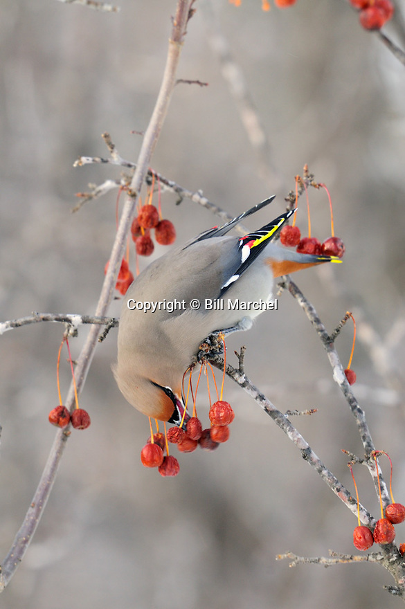 00110-011.19 Bohemian Waxwing is feeding on crab apples during winter.  Food, cold, fruit, red splendor.