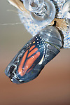 Butterfly Chrysalis, Monarch, Danaus plexippus, Emergent Sequence Image Number 2 of 6