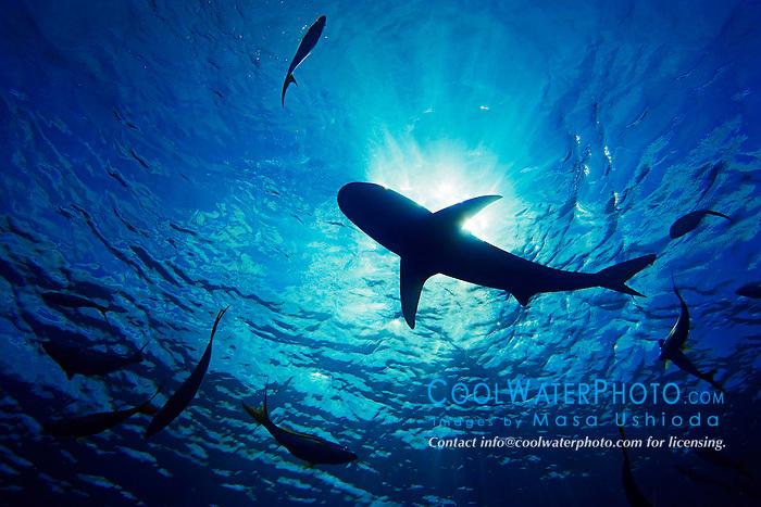 Silhouette of Caribbean Reef Shark, Carcharhinus perezi, and Yellowtail Snappers, Ocyurus chrysurus, West End, Bahamas, Atlantic Ocean
