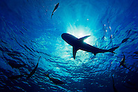 Silhouette of Caribbean Reef Shark, Carcharhinus perezi, and Yellowtail Snappers, Ocyurus chrysurus, West End, Bahamas, Atlantic Ocean