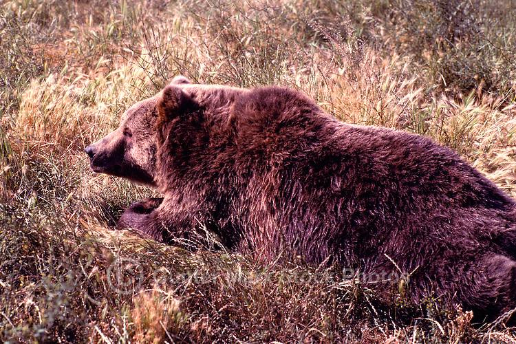 Kodiak Bear aka Alaskan Grizzly Bear and Alaska Brown Bear (Ursus arctos middendorffi) lying in Grass