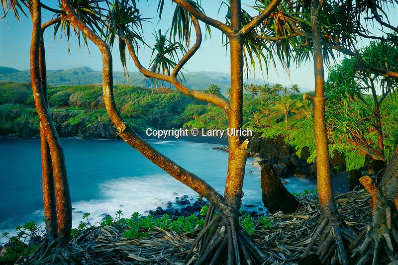 Hala trees at sunrise and Haleakala<br /> Black Sand Beach,  Pailoa Bay<br /> Waianapanapa State Park<br /> Island Maui, Hawaii