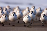 ShoreBirds, plovers and killdeer