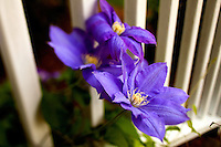 "Clematis 'Kiviain' ""Aino"", purple flowers growing on a climbing vine, grow along a porch railing in Charlotte, NC."