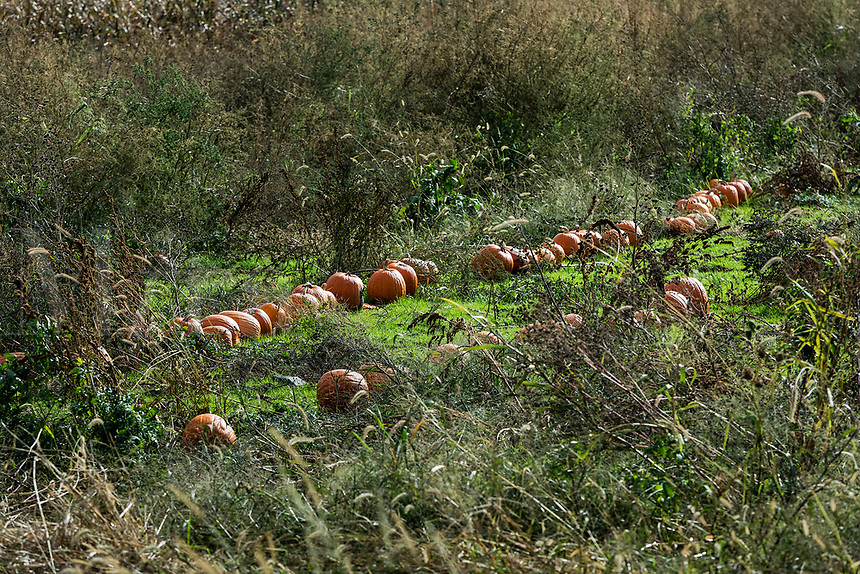 Rustic pumpkin patch, Tiverton, Rhode Island, USA.
