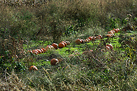 Rustic pumpkin patch, Tiverton, Rhode Island, USA.