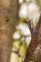 A Yellow-bellied Sapsucker tracks the flight of a wasp with his eyes and prepares to dispatch it with his bill. Sapsuckers drill a pattern of holes in trees that fill with sap. These sap wells are magnets for insects, mammals, and birds, and serve as a primary food for hummingbirds migrating north in the spring.