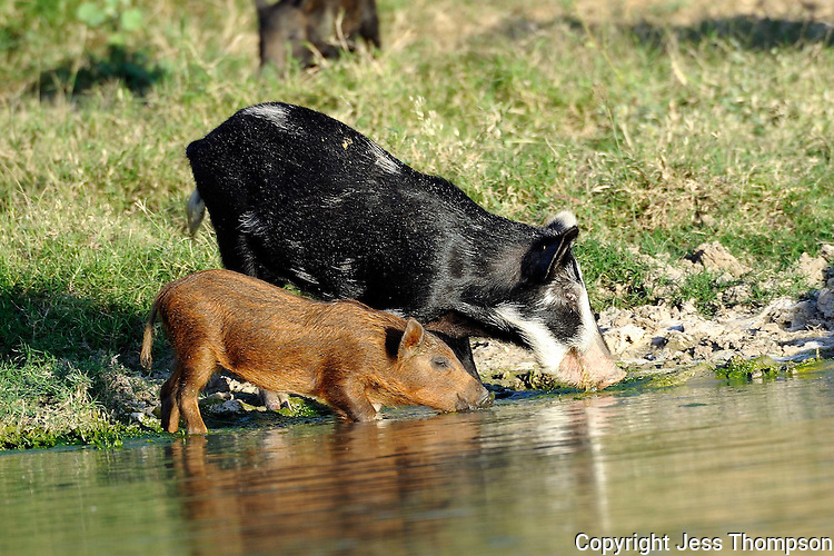 Wild Hogs drinking at a pond in South Texas