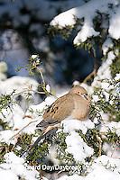 01081-011.02 Mourning Dove (Zenaida macroura) in Keteleeri Juniper (Juniperus keteleeri) in winter, Marion Co. IL