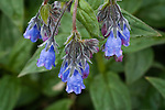 Mertensia paniculata - bluebells - in Denali National Park, Alaska, with their distinctive hanging bells