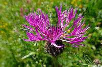 Alpine Knapweed ( Centaurea alpestris ). Bernese Alps, Switzerland