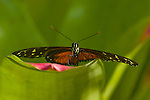 Golden Helicon; Tiger longwing butterfly (Heliconius hecale)