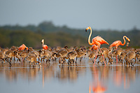 An adult American Flamingo (Phoenicopterus ruber) approaches a creche to locate its chick. Rio Lagartos Biosphere Reserve, Mexico. July.