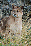 A Puma sits on a hillside in Patagonia, Chile.