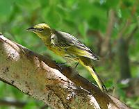 Juvenile female hepatic tanager