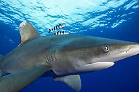 oceanic whitetip shark, Carcharhinus longimanus, with pilot fish, Naucrates ductor, Cat Island, Bahamas, Caribbean Sea, Atlantic Ocean