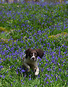 20/04/15<br /> <br /> Six-month-old springer spaniel puppy, Chester, plays among the bluebells in Bow Wood, near Cromford, Derbyshire. <br /> <br /> All Rights Reserved: F Stop Press Ltd. +44(0)1335 418629   www.fstoppress.com.