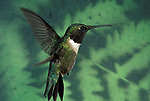 Ruby Throated Hummingbird, Archilochus Colubris, female, in flight, high speed flash, flying, hovering, wings.