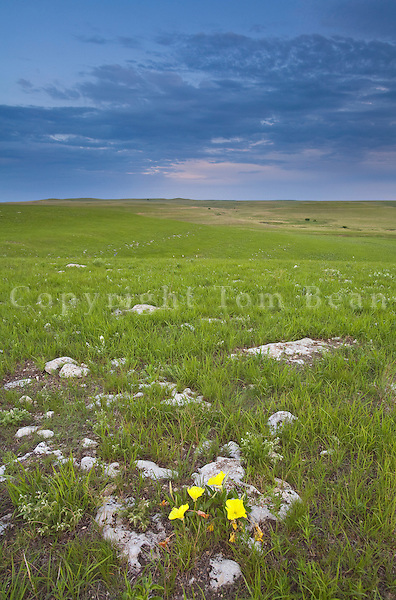 Yellow evening primrose flowers amid limestone rocks at Tallgrass Prairie National Preserve in the Flint Hills near Strong City, Kansas, AGPix_0605