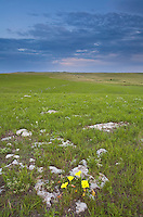 Yellow evening primrose flowers amid limestone rocks at Tallgrass Prairie National Preserve in the Flint Hills near Strong City, Kansas, AGPix_0605