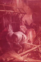 Peter Paul Rubens 1577-1640.  Horses.  Cinescopie.  Reference only.