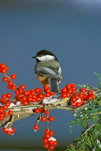 Black capped chickedeen on evergreen branch with snow and native holly berries, midewest USA