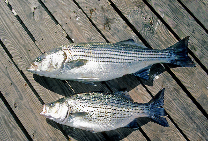 Striped bass (top) and hybrid striped bass comparison, Beaver Lake, Arkansas
