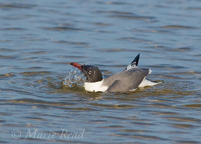 Laughing Gull (Larus atricilla) breeding plumage, <br /> bathing, Fort De Soto Park, Florida, USA