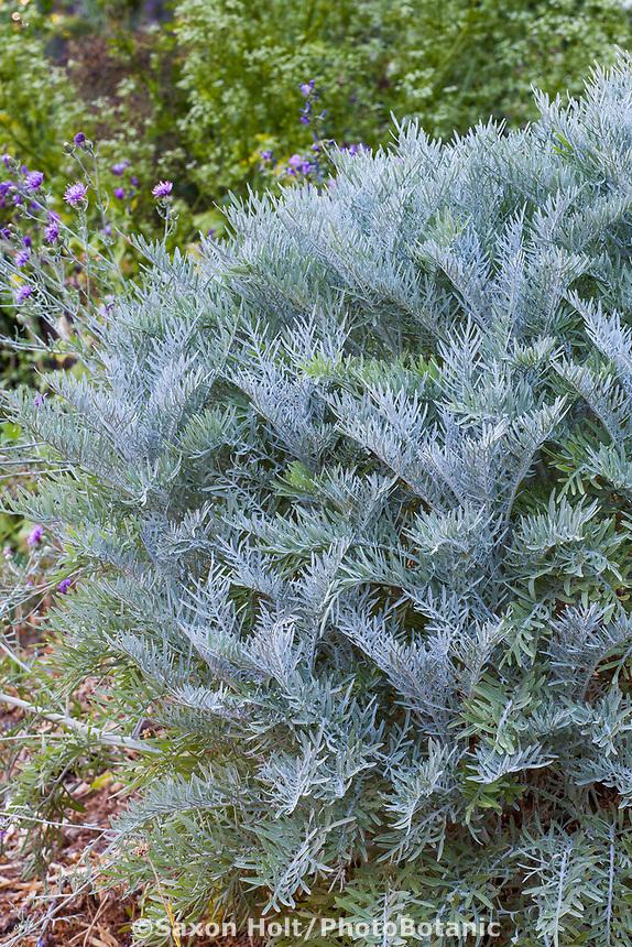 Centaurea gymnocarpa, Velvet Centaurea, gray foliage shrub in Yanker-Hansen garden