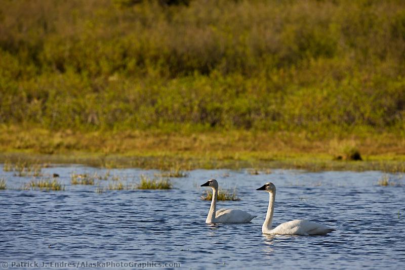 Tundra swans in small tundra pond in the Alaska range, interior, Alaska.