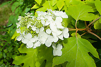 Hydrangea quercifolia Little Honey yellow foliage, in flower