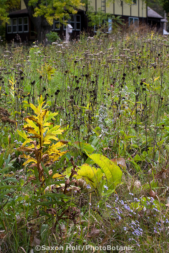 Meadow lawn substitute with native plants, Compassplant leaf (Silphium laciniatum), Feverfew leaves (Parthenium integrifolium), seedheads of Coneflower (Echinacea pallida) and Switchgrass (Panicum virgatum) Neil Diboll garden in autumn Wisconsin, Prairie Nursery