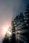 Misty fall morning sunrise & godbeams through pine tree, Hayden Valley, Yellowstone National Park, WYOMING