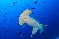Sphyrna lewini, Bogenstirn Hammerhai, Scalloped hammerhead shark, Insel Cocos, Costa Rica, Pazifik, Pazifischer Ozean, Cocos Island, Costa Rica, Pacific Ocean
