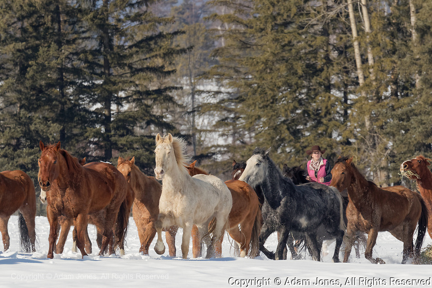 Belgian Horse roundup in winter, Kalispell, Montana. Equus ferus caballus