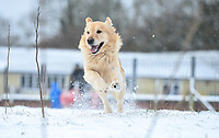 SNOW WEATHER PICTURE WALES<br /> Llew, a golden retriever plays in the snow in a field in Llandybie, Carmarthenshire, Wales, UK.