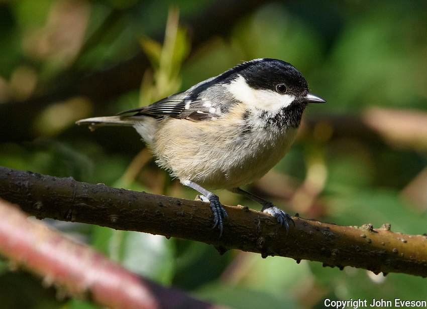 A Coal Tit, Chipping, Lancashire.