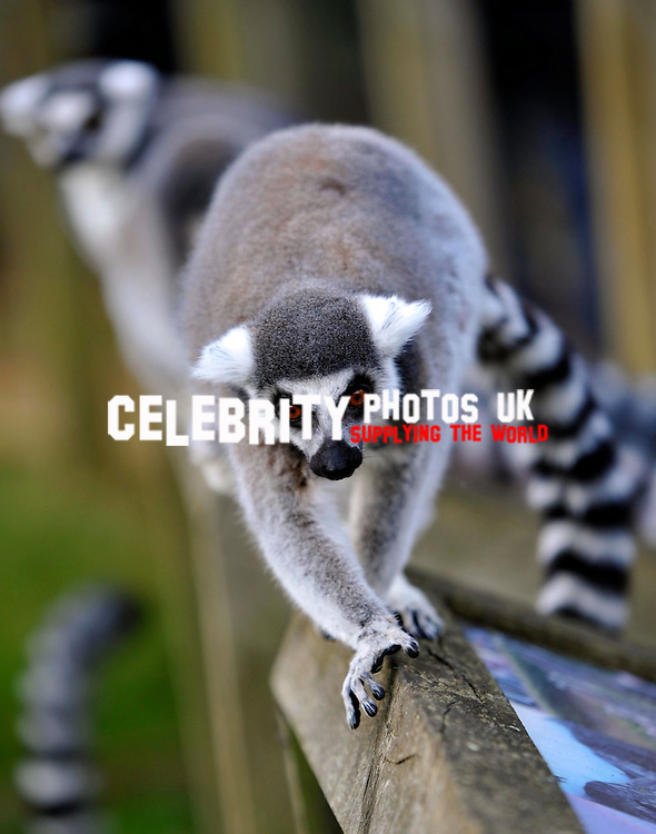 ringtail lemur zookeeper kathy at  ZSL Whipsnade Zoo doing  t the annual animal  stocktake - the mammoth task of counting every animal at the Zoo. .. .Picture By: Brian Jordan / Retna Pictures..Job:..Ref: BJN  ..-..*World Rights*